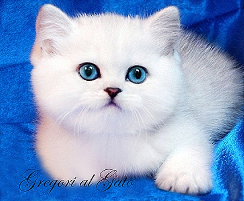 котенок британской серебристой кошки
