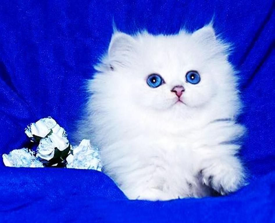 питомник кошек британская шиншилла gregori al gato