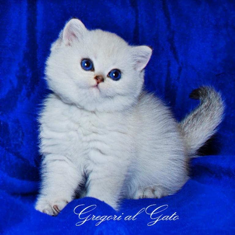 питомник gregori al gato в москве британские шиншиллы