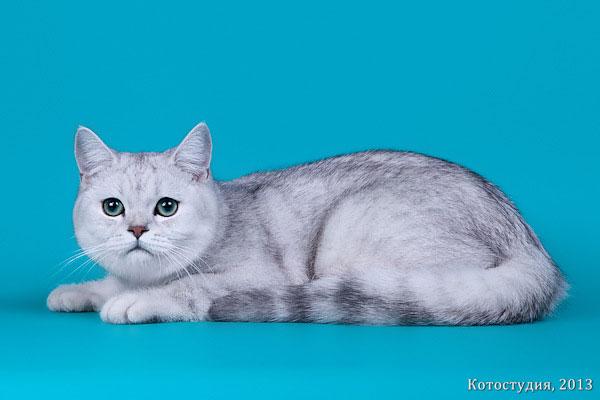 питомник шотландских вислоухих кошек polyumis