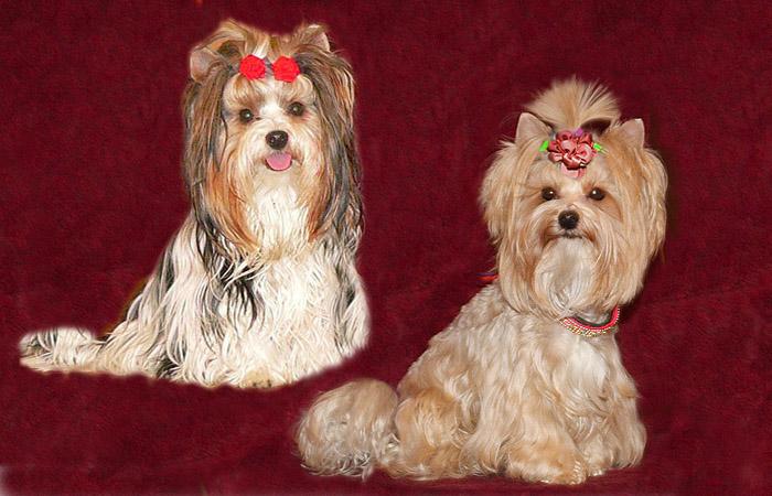 бивер йорк и голдаст йорк гипоаллергенные собаки