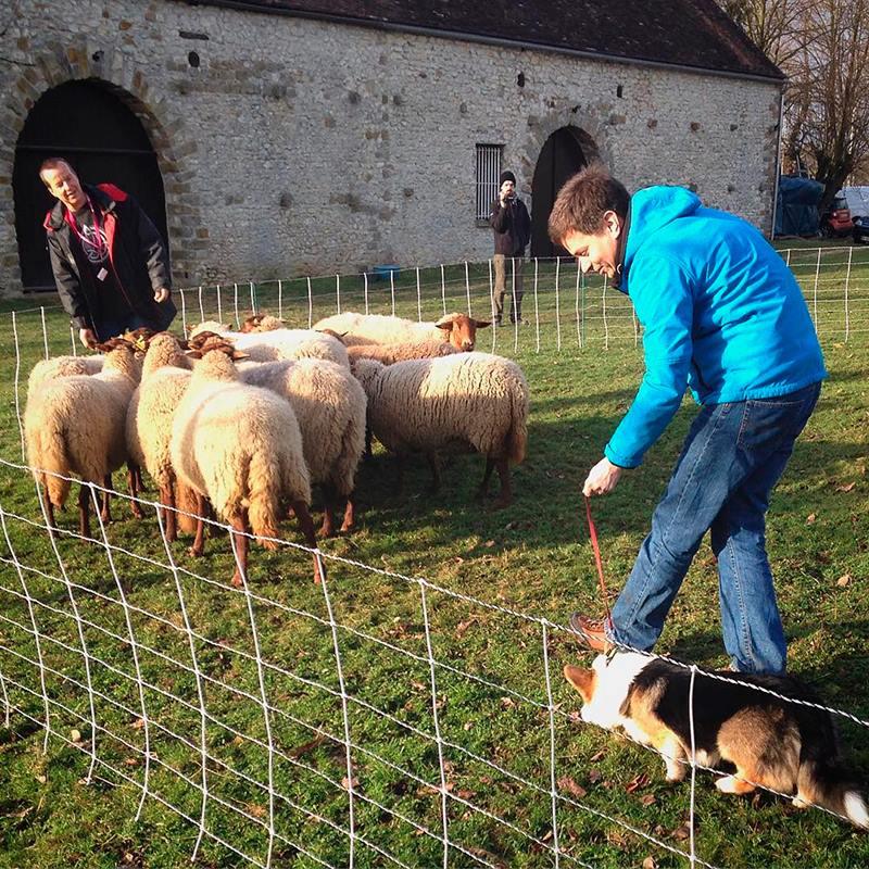 овчарка вельш-корги