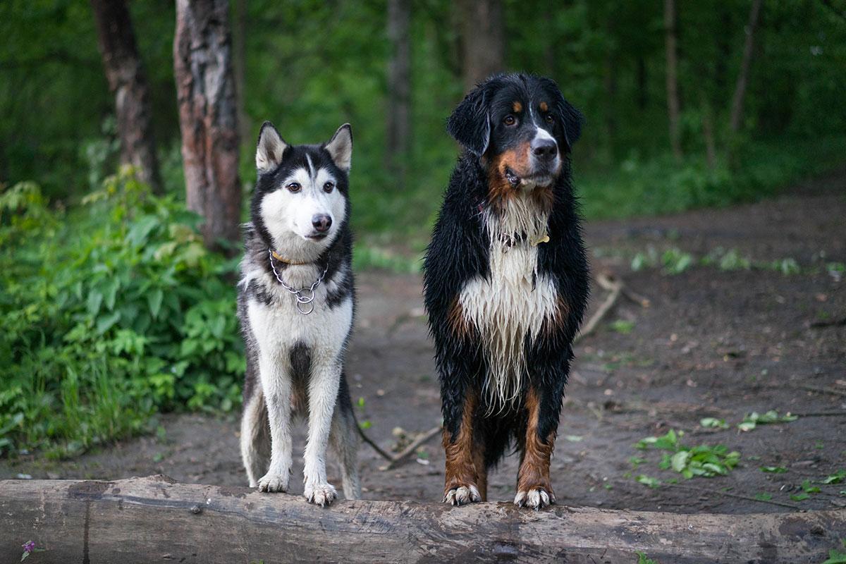 фото собак бернский зенненхунд