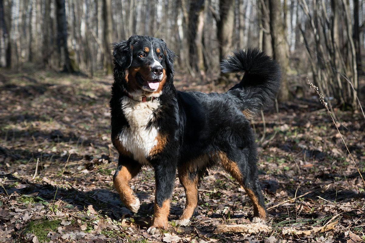 бернский зенненхунд фото собак на природе