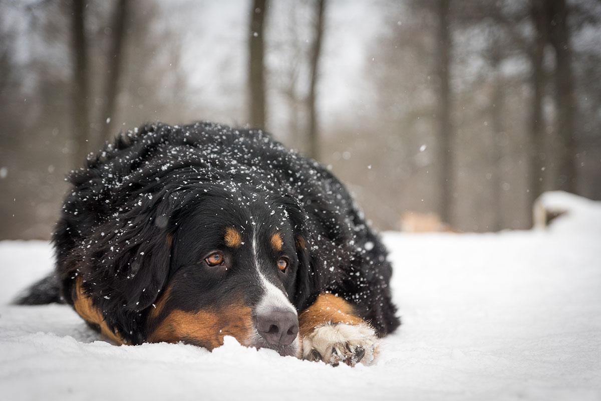 портрет бернского зенненхунда в снегу