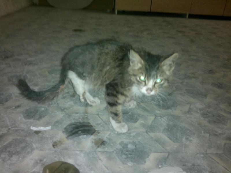 бездомный котенок без лапы