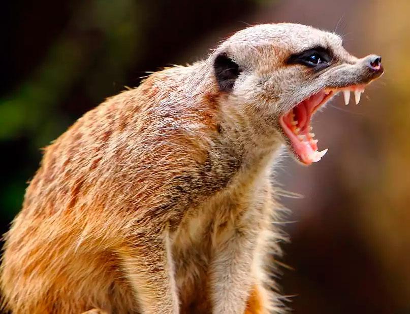 сурикаты самые жестокие животные