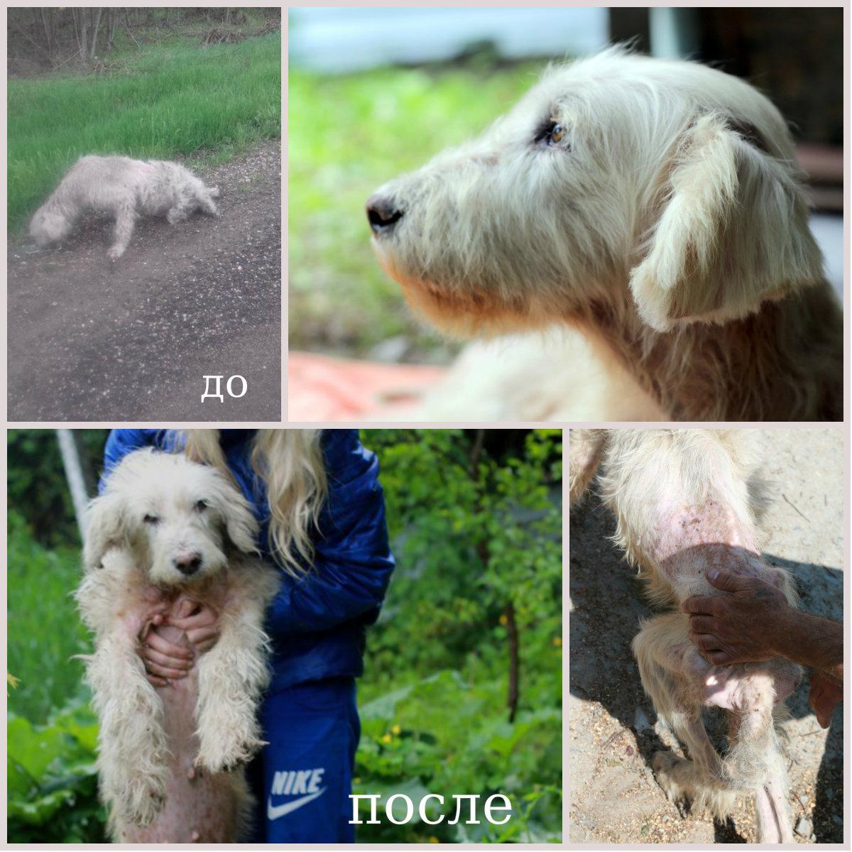 волонтеры спасли южнорусскую овчарку